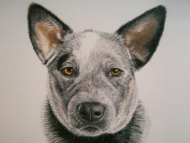 Foreman, Blue Heeler dog portrait by artist Lesley Zoromski, Petaluma, CA
