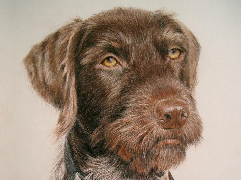 Mauser, Drahthaar by dog portrait artist Lesley Zoromski, Petaluma, CA