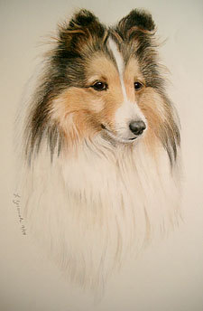 custom Sheltie portrait fine art drawing by lesley zoromski