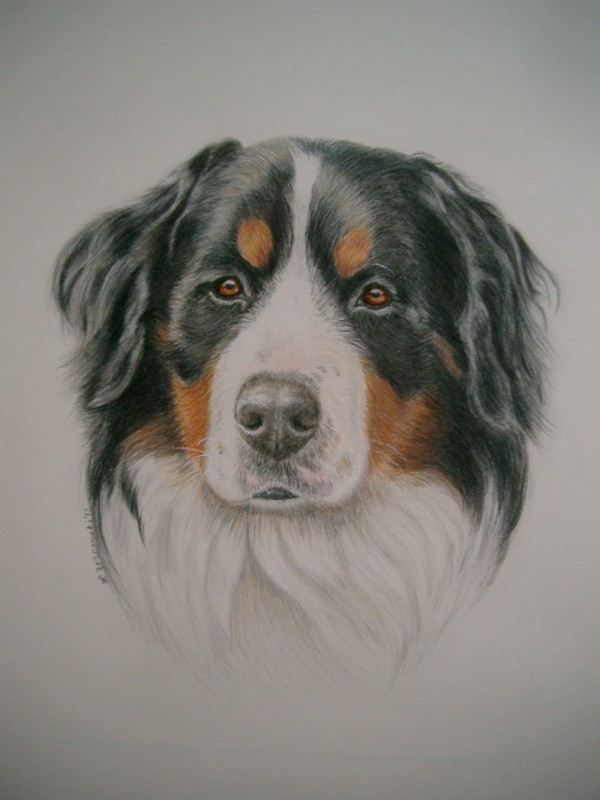 Bernese Mountain Dog Hand Drawn Art Dog Sketches Commission Dog Artwork
