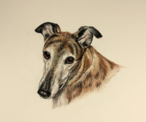 Baci - Greyhound