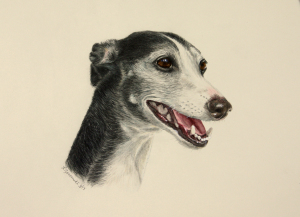 color pencil commission portrait of greyhound