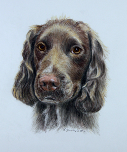color pencil portrait of english cocker