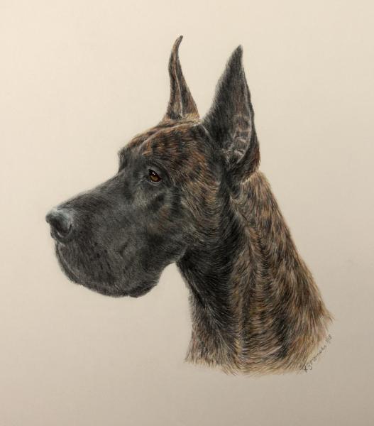 Great dane color pencil dog portrait