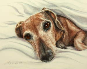 dachshund snuggling in blankets custom portrait