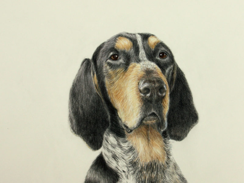 Hank- Coon Hound Blue Tick -Color pencil/watercolor by dog portrait artist Lesley Zoromski, Petaluma, CA