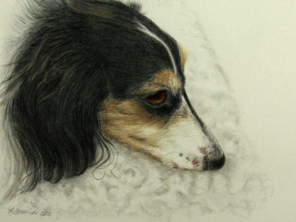 Pencil drawing of resting dachshund dog