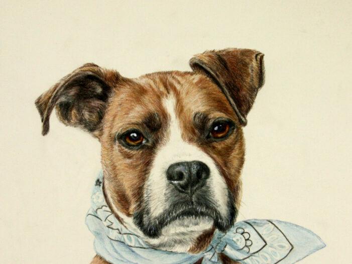 dog portrait of black and white dog - color pencil and water color by artist Lesley Zoromski, Petaluma, CA
