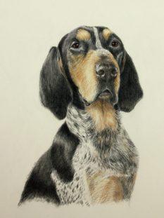 Bluetick Coon Hound portrait