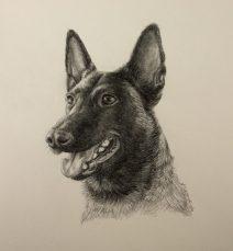 graphite dog portrait, belgian malinois