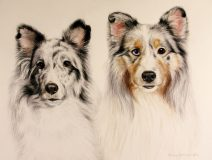 commissioned portrait of sheltie dogs